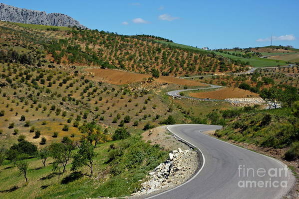 Agricultural Art Print featuring the photograph Road Winding Between Fields Of Olive Trees by Sami Sarkis