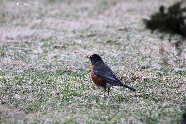 Robin Art Print featuring the photograph Robin by Carolyn Postelwait