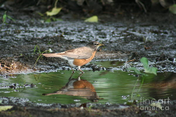 Robin Art Print featuring the photograph Robin In Reflection by Eric Irion