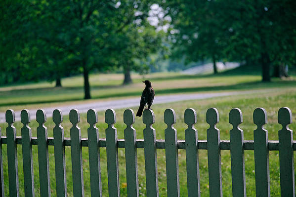 Bird Art Print featuring the photograph Robin On A Fence by Lone Dakota Photography