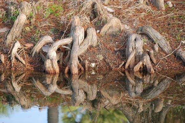 Roots Art Print featuring the photograph Rooted Reflections by Rob Hans