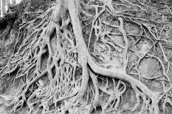 Roots Art Print featuring the photograph Roots In Black And White by Steve Shockley