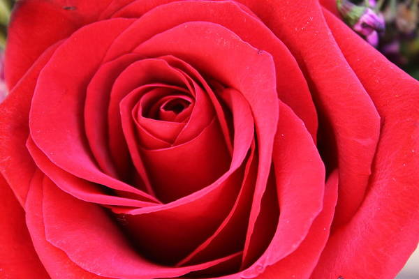 Rose Art Print featuring the photograph Rose by Susan Rice