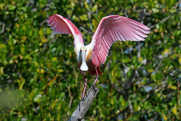 Spoonbill Art Print featuring the photograph Roseate Spoonbill Wings Spread by Alan Lenk