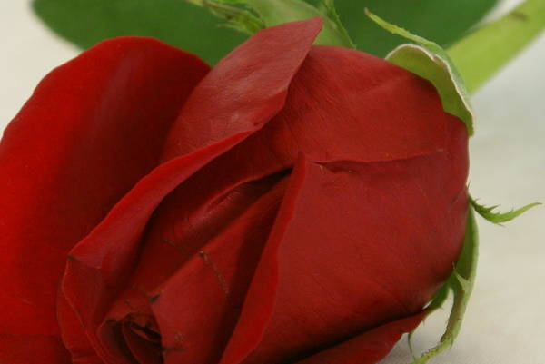 Flower Art Print featuring the photograph Rosebud by Ron Read