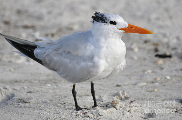 Royal Tern Art Print featuring the photograph Royal Tern by Rose Hill