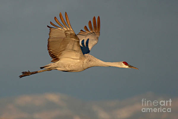 Crane Art Print featuring the photograph Sandhill Crane Flying Above The Mountains Of New Mexico by Max Allen