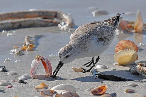 Shore Bird Art Print featuring the photograph Sandpiper by Alan Lenk