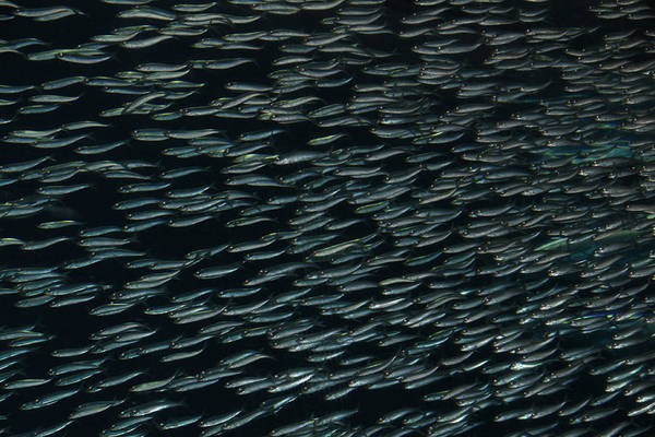 Sardine Art Print featuring the photograph Sardines Without The Can by Michael Courtney
