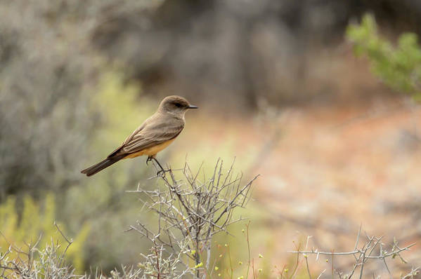 Mfob Art Print featuring the photograph Say's Phoebe by Richard Eastman