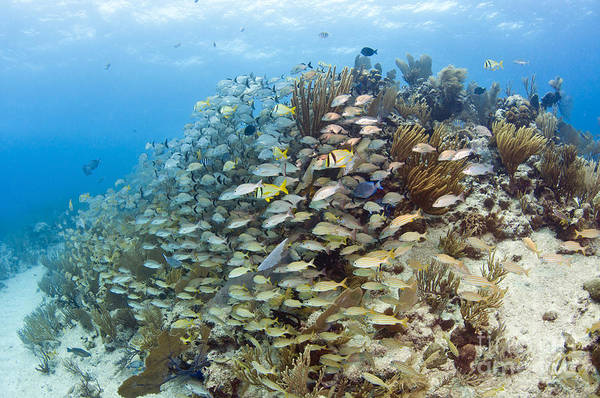 Porkfish Art Print featuring the photograph Schools Of Grunts, Snappers, Tangs by Karen Doody