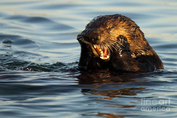 Natural Art Print featuring the photograph Sea Otter With A Toothache by Max Allen