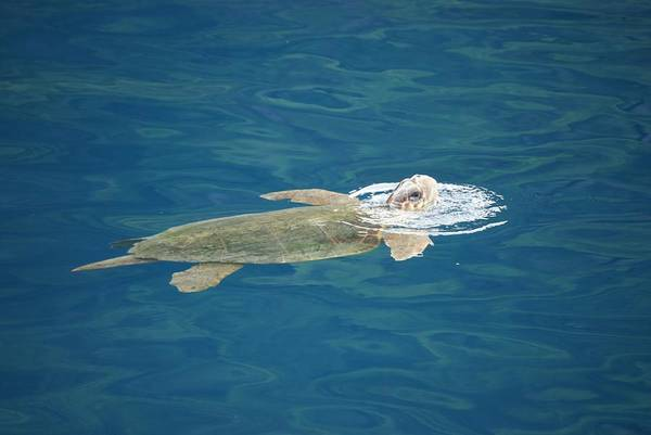 Sea Turtle Art Print featuring the photograph Sea Turtle by AJ Harlan