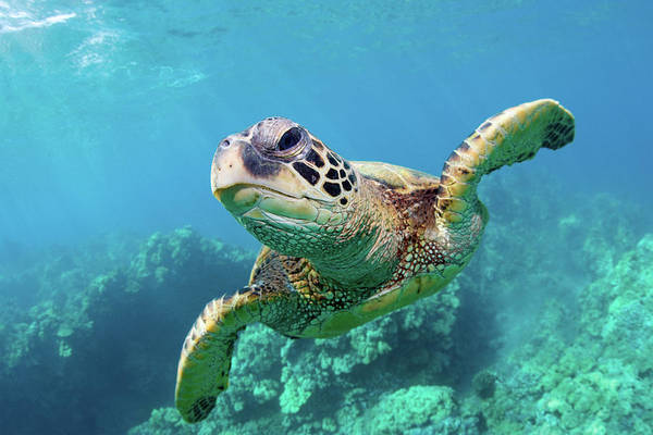 Horizontal Art Print featuring the photograph Sea Turtle, Hawaii by Monica and Michael Sweet