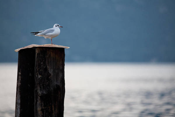 Italy Art Print featuring the photograph Seagull by Luigi Barbano BARBANO LLC