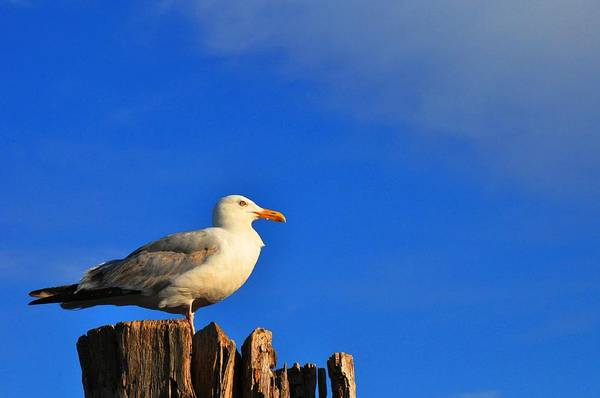 Seagull Art Print featuring the photograph Seagull On A Dock by Andrew Dinh