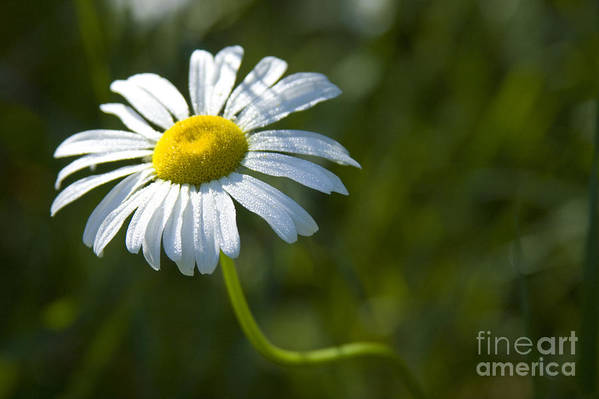Daisy Art Print featuring the photograph Searching For Sunlight by Idaho Scenic Images Linda Lantzy
