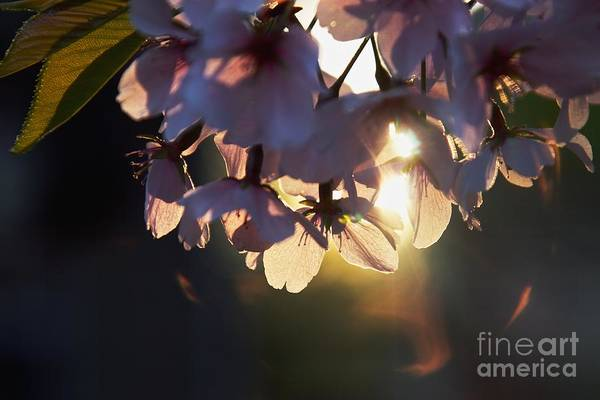 Cherry Blossom Art Print featuring the photograph Sentimental Blooming by Hideaki Sakurai
