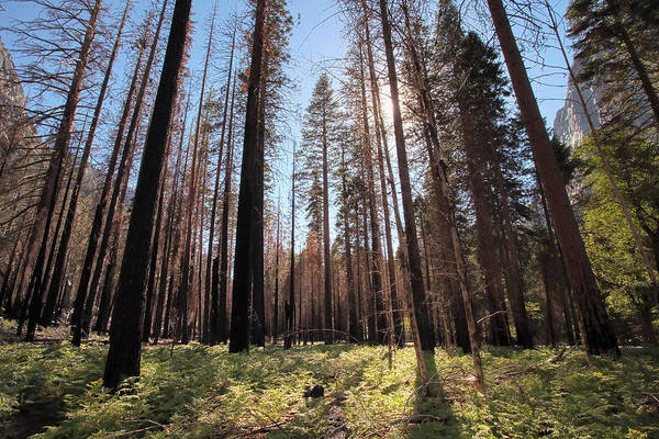 Sequoia National Park Art Print featuring the photograph Sequoia Forest At Sunrise by Rick Pham
