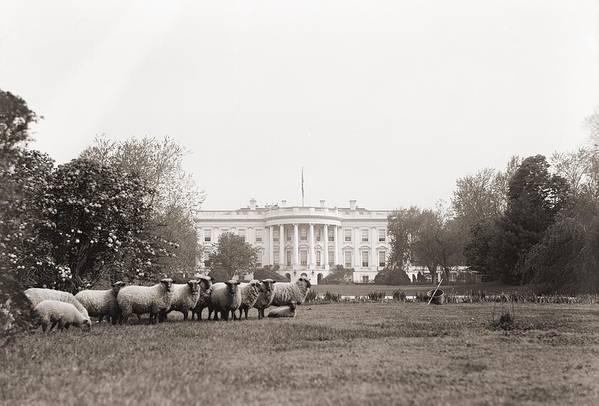 History Art Print featuring the photograph Sheep Grazing On The White House Lawn by Everett