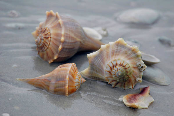 Shells Art Print featuring the photograph Shells For Barb by Pat Guichet