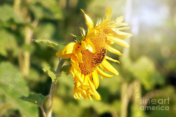 Sunflower Art Print featuring the photograph Shining Sun by Lila Fisher-Wenzel