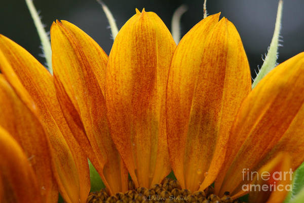 Sunflower Art Print featuring the photograph Simply Petals by Debra Straub
