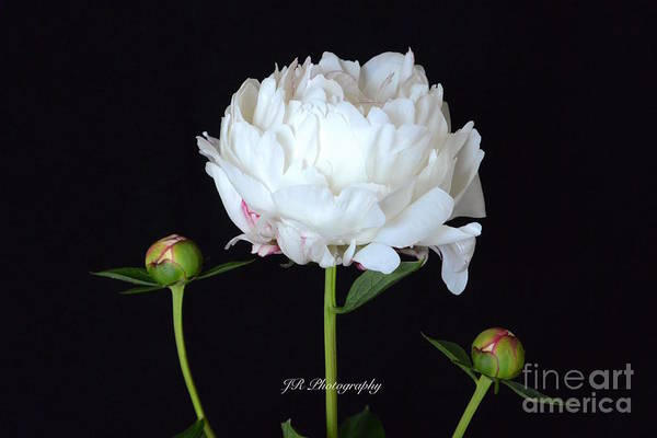 Single White Peony Art Print featuring the photograph Single White Peony by Jeannie Rhode