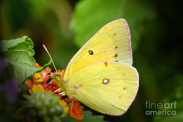 Yellow Art Print featuring the photograph Sipping Nectar by Jeannie Burleson