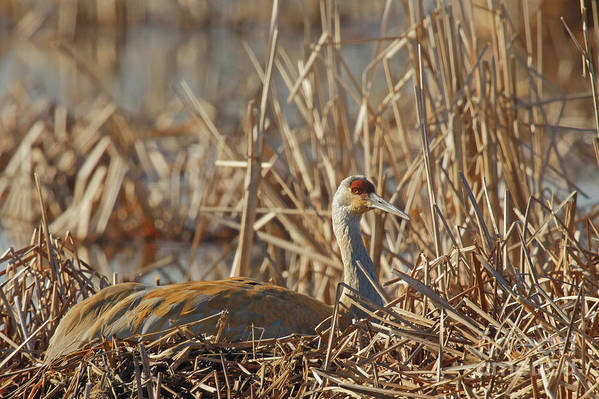 Sandhill Crane Art Print featuring the photograph Sitting On The Nest by Natural Focal Point Photography