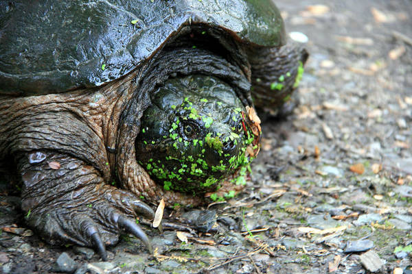 Turtle Art Print featuring the photograph Snapping Turtle by George Jones