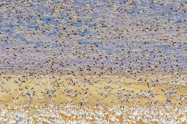 Oregon Art Print featuring the photograph Snow Geese Take Off 3 by Marc Crumpler