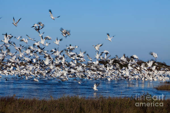 Birds Art Print featuring the photograph Snow Geese Takeoff I by Irene Abdou
