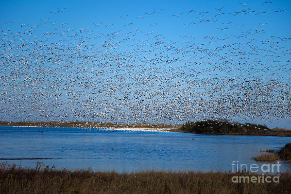 Birds Art Print featuring the photograph Snow Geese Takeoff Iv by Irene Abdou