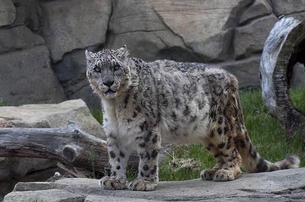 300mm Lens Art Print featuring the photograph Snow Leopard by Matt Steffen