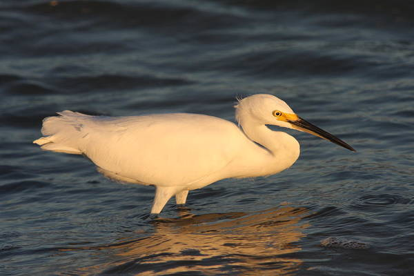 Egret Art Print featuring the photograph Snowy Egret By Sunset by Christiane Schulze Art And Photography