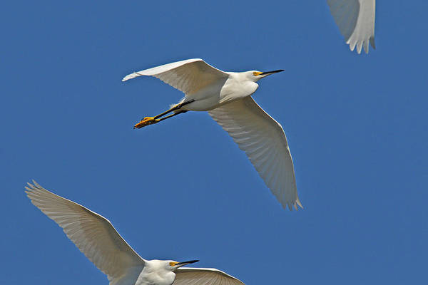Egret Art Print featuring the photograph Snowy Egrets Flying by Alan Lenk