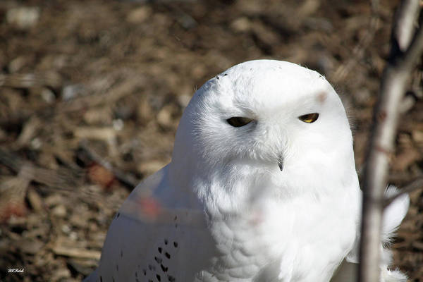 Maryland Art Print featuring the photograph Snowy Owl by Ronald Reid