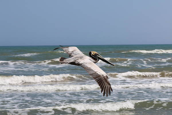 Wild Pelican Art Print featuring the photograph Soaring Pelican by Christy Pooschke