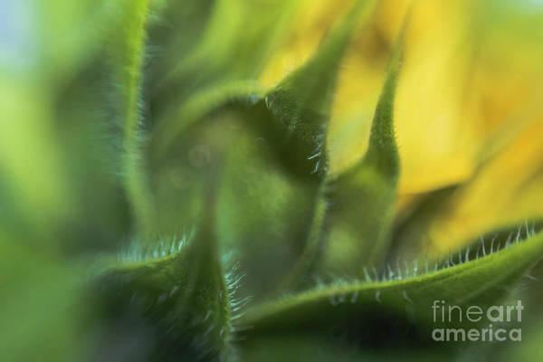 Sunflower Art Print featuring the photograph Softabstractsunflower by Cindy Gatzemeier