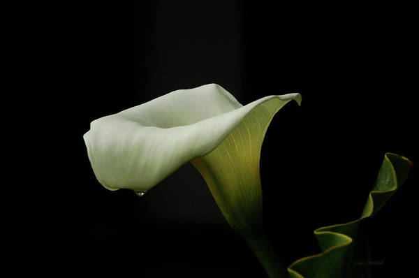 Calla Lily Art Print featuring the photograph Something About Lily by Donna Blackhall