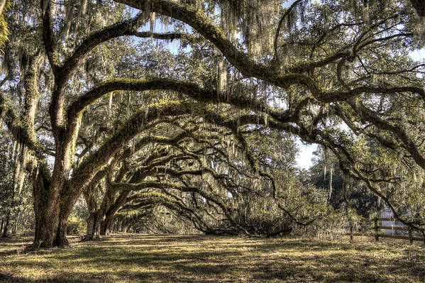 Live Oak Art Print featuring the photograph Southern Live Oaks With Spanish Moss Color by Dustin K Ryan