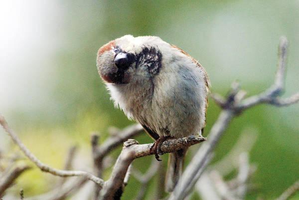 Bird Art Print featuring the photograph Sparrow Tilts It Head by Steve Somerville
