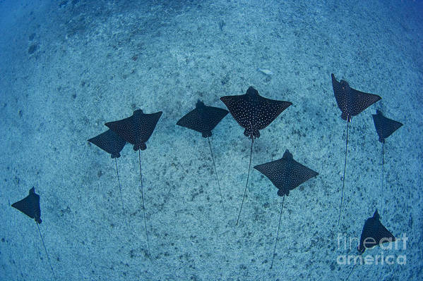 Aetobatus Art Print featuring the photograph Spotted Eagle Rays by Dave Fleetham - Printscapes