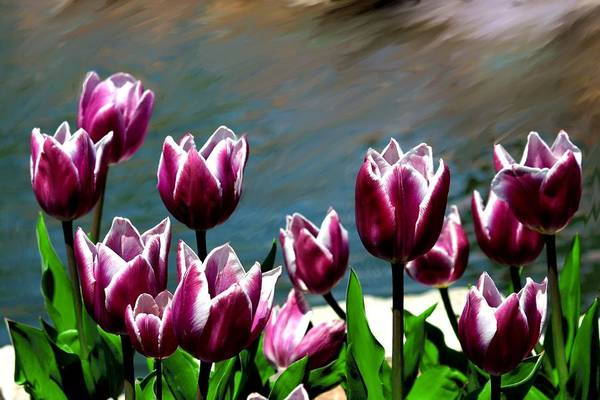 Tulip Art Print featuring the photograph Spring Tulips 1 by Jim Darnall
