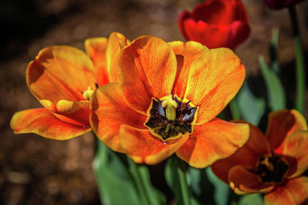 Flowers Art Print featuring the photograph Spring Tulips by Jen Manganello