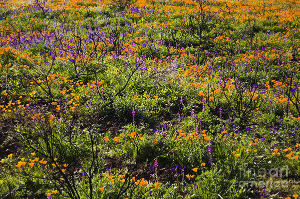 Santa Monica Mountains Art Print featuring the photograph Spring Wildflowers by Greg Clure