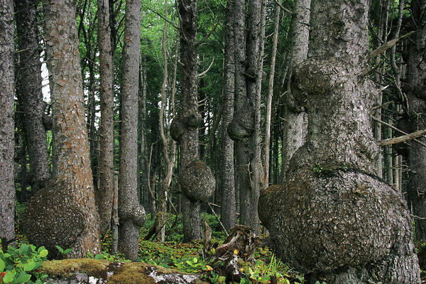 Spruce Art Print featuring the photograph Spruce Burls Olympic National Park Wa by Christine Till