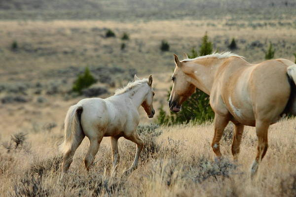 Wild Mustang Photos Art Print featuring the photograph Staying With Mom by Rod Giffels