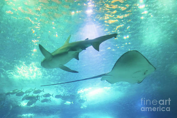 Underwater Art Print featuring the photograph Sting Ray And Shark by Benny Marty